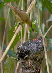 """Brood Parasitism: A Reed Warbler Feeding a Common Cuckoo Chick in its Nest - """"Wow you are a big boy - are you sure I am really your Daddy?"""" (Photo: Wikimedia CC)"""