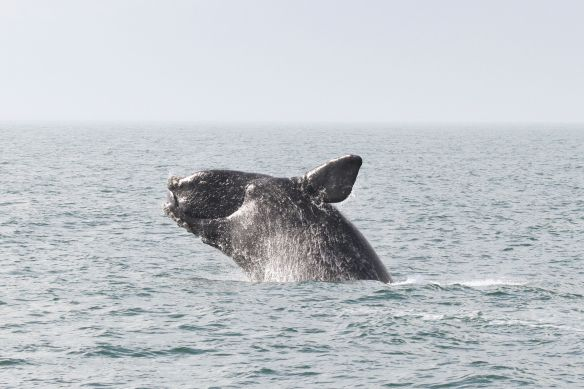 Whale Breaching (Photo Courtesy Of NOAA)