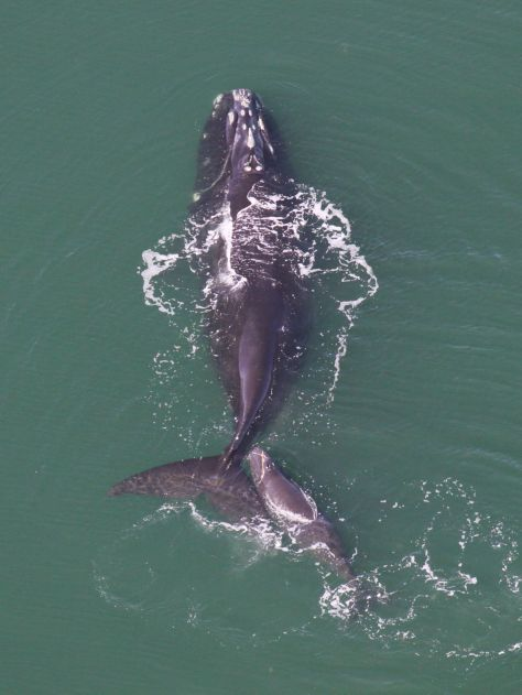 Whale With Calf 1 (Photo Courtesy Of NOAA)