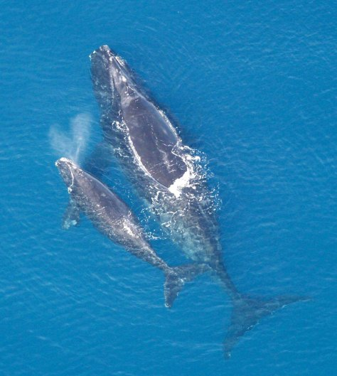 Whale With Calf 2 (Photo Courtesy Of NOAA)