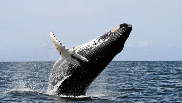 Humpback Whale Breaching at Stellwagen Bank National Marine Sanctuary (courtesy Whit Welles)