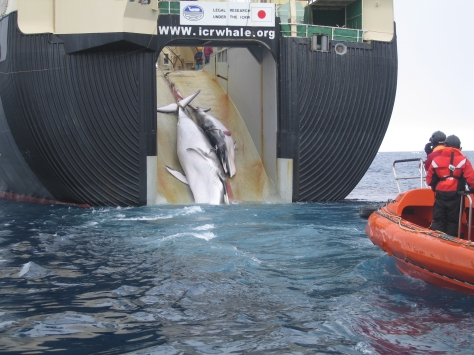 Japan Factory Ship Nisshin Maru taking on slaughtered Mother and Calf whales prior to butchering them both (Courtesy Australian Customs and Border Protection Service)