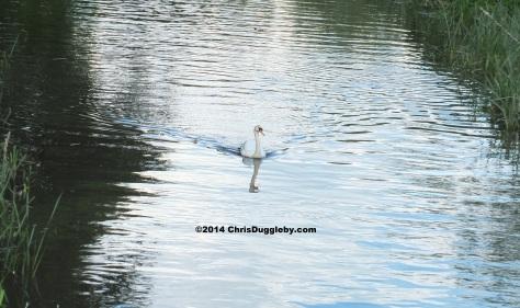 Swan on River Wey in Surrey England near Walsham Lock
