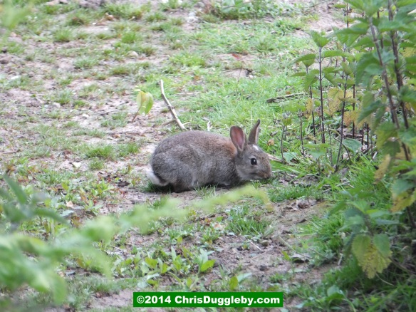 Rabbit Eating Lunch By The Side Of Bridleway