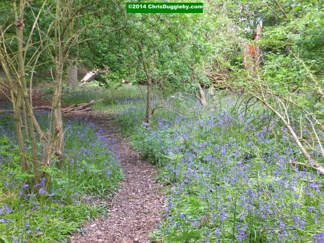 Forest Path Through Field Of Blue Bells
