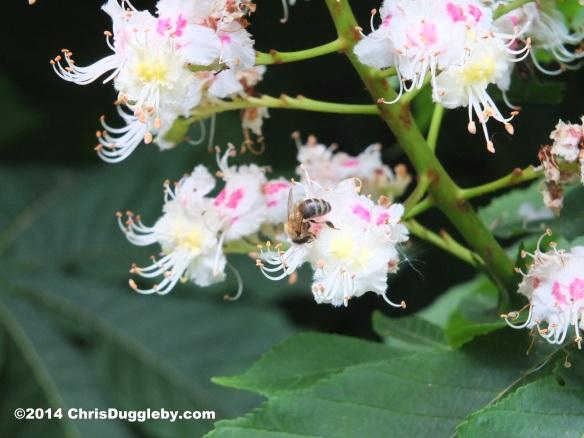 Bee Enjoying Delicious Spring Nectar