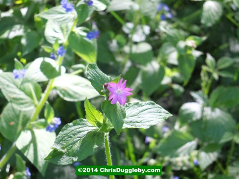 Solitary Red Flower In Sea Of Blue Blooms
