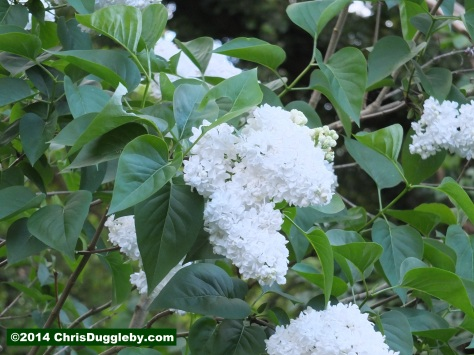 Bushes with White Spring Blossoms