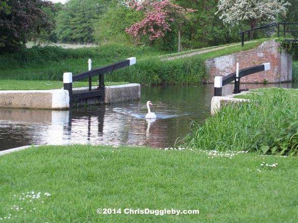 Swan Passing Through Walsham Lock