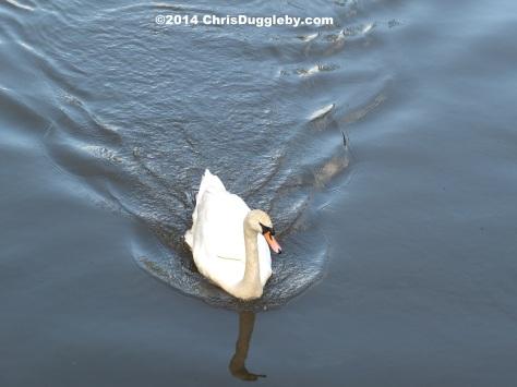 Swan On The River Way At Walsham Lock
