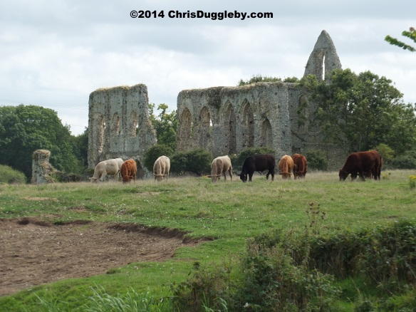 Cattle Grazing in front of Newark Abbey ruins at Pyrford