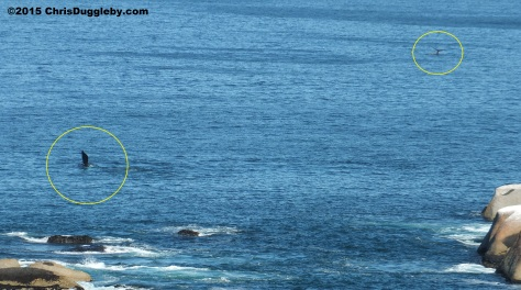 Two whales from the three groups playing around Sunset Rocks on Feb 28th 2015