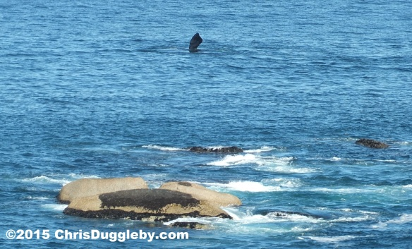 Whale taken from Sunset Rocks Feb 28th 2015