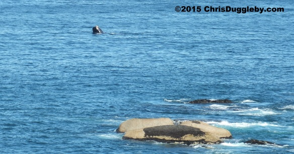 Whale popping its head out of the water near Sunset Rocks Feb 28th 2015