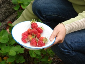 An example of some delicious home grown strawberries (Photo David R. Tribble)