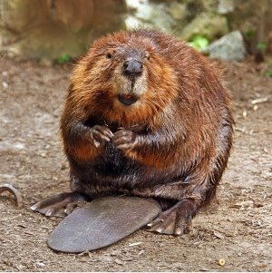 Beaver Looking For his Next Tasty Bottom to Bite
