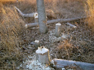 Examples of the Leftovers from a Typical Beaver Feeding Session