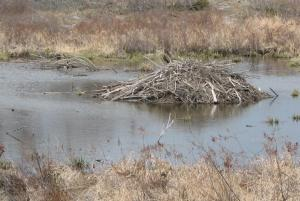 If there is a beaver lodge nearby consider swimming elsewhere