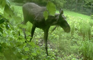 Moose caught posing in Bavarian National Forest (Photo Nationalparkverwaltung Bayerischer Wald)