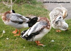Three Alpine ducks take a bow following a hard day of snail warfare