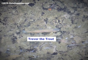 5 One fish that has protected status (from me) in Bavaria - my pet trout Trevor