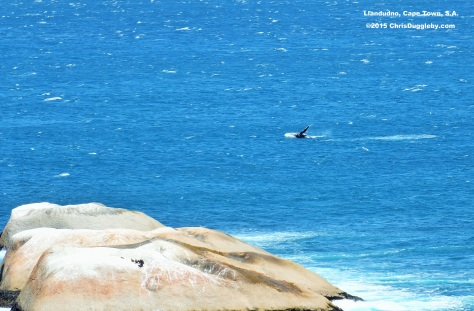 A second whale races to join his friend as they splash along to Chris Duggleby's music