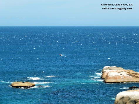 One of the many whale visitors to Sunset Rocks (Llandudno, Cape Town) hoping Chris will play one of his tunes