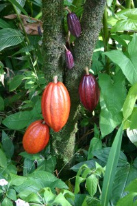 Cocoa Pods - before processing and packaging chocolate can not contain Mineral Oil Aromatic Hydrocarbons