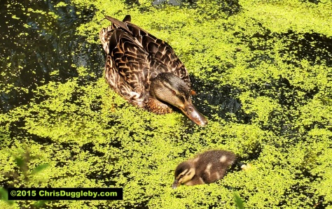 Gorgeous chick and mummy go for a paddle along the Basingstoke canal