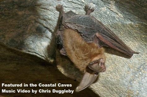 Townsends Bat in Californian Cave (photo D. Bunnell)