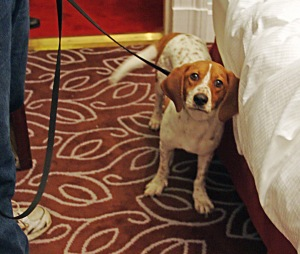Bed bug Sniffing Dog