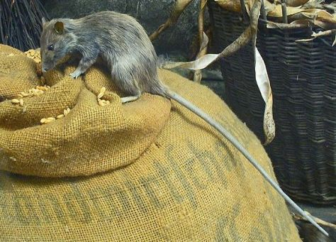 Roof rat or Rattus rattus looking for some tasty treats