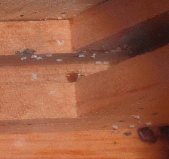 Two bed bugs with eggs living in the dresser