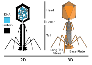 Bacteriophage used by molecular biologists to inject genes into Bacteria
