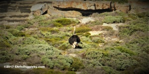 Cape Town is famous for its wild birds - this ostrich was strolling around near Cape Point