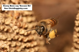 p3-honey-bees-say-excuse-me-see-17-feb-2017-blog-at-chrisdugglebydotcom