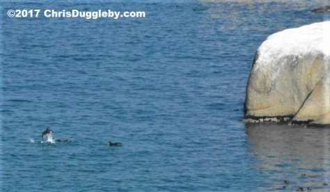 Pic 2 (enlarged) of Dolphins around the rocks at Sunset Rocks, Llandudno