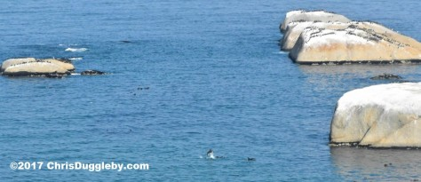 Pic 2 of Dolphins around the rocks at Sunset Rocks, Llandudno