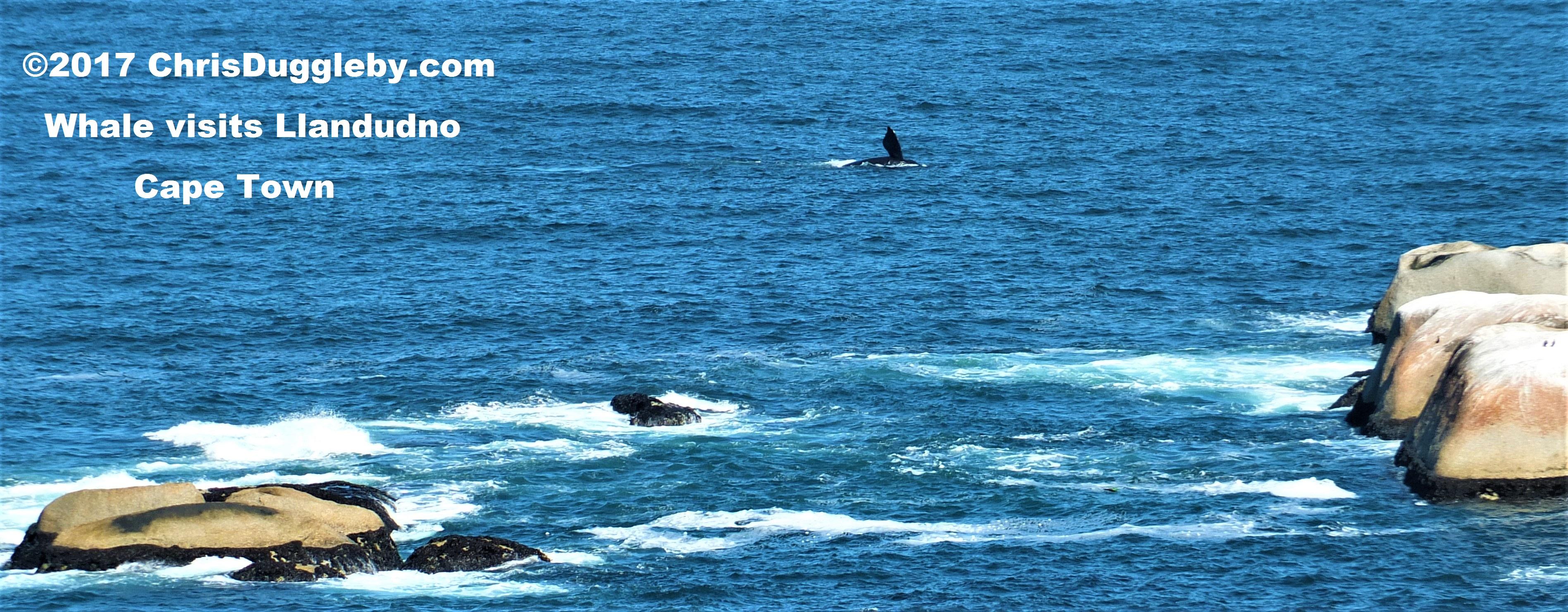 Cape Town Whale Spotting Tips  Secret Bait  Sandy Bay -3846