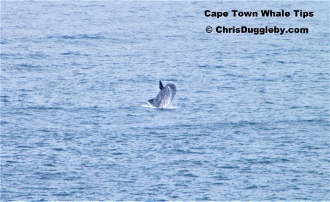 2012 Whale Picture 1 Taken at Llandudno Cape Town