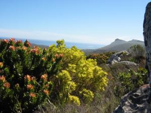 9a Fynbos Vegetation Endemic to Cape Town See Photo Blog Article Sensational Images of Blazing Cape Town Mountain at ChrisDugglebydotcom